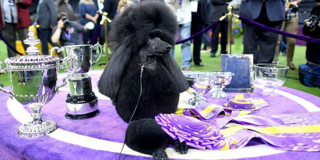 Standard Poodle Takes Best In Show At Westminster Kennel Club Competition