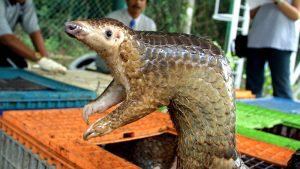 Was the pangolin the source of the Covid-19 outbreak?